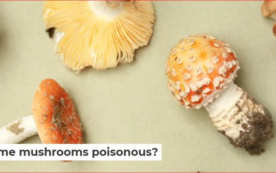 A mushroom is the above-ground part of a fungus. Most of the time, fungi live as threadlike structures called hyphae underground or in materials like wood. For fungi to reproduce, a mushroom must form above ground.